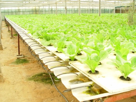lettuce in hydroponic system_JPG
